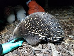 Feeding Randall the Echidna!
