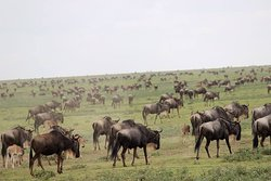 wild beets migration in Serengeti national parks