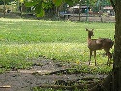 Deer hiding behind the tree