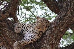 Big five safaris in Tarangire National park