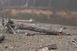 A huge driftwood
