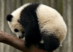 Xiongmao Jidi Baby panda.
