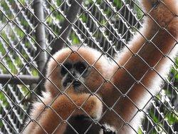 Gibboni