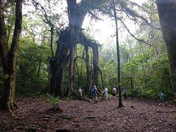 Giant tree at the botanical garden