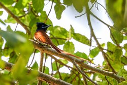 deze paradise flycatcher kan je hier ook tegen komen