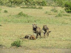 Hyena's
