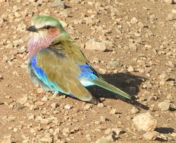 Lilac-breasted roller - Serengeti NP