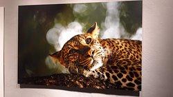 foto ghepardo