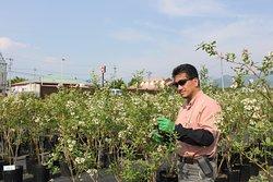 農園で摘果作業をする農園オーナーの松田淳氏