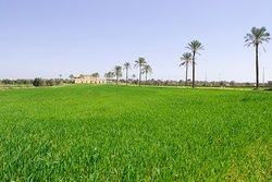 campo di grano varieta' senatore Cappelli