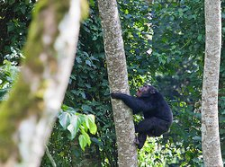 Chimps in Nyungwe Forest