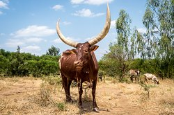 Ankole Longhorn Cattle at Magashi, Akegera National Park