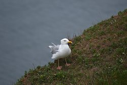 Sea Gulls are everywhere in Helgoland