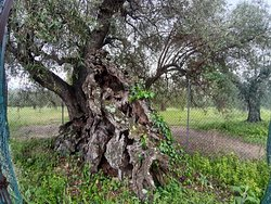 Olivo della Strega di Magliano in Toscana