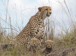 The fastest cat [Cheetah] with ist cubs hiding for camouflage in Serengeti National Park