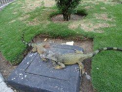 Un par de iguanas