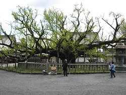 400+ year old Ginko tree, in front of Amidado (Hall of Amida Buddha)
