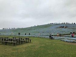 丘一面がネモフィラです。