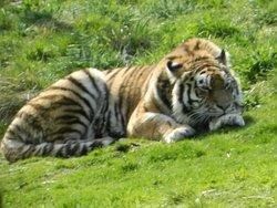 Tiger snoozing.