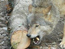 Wolf gnawing at tree.