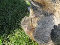 Mama pig getting a quick nap while babies sleep.  She was sweet and friendly.