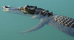 Inquisitive crocodile