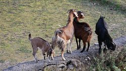 Goats amongst other animals seen from house
