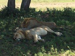 Safari luna de miel