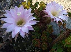 Great succulent blooms.