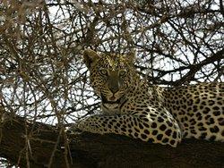 Leopard, Samburu National Reserve