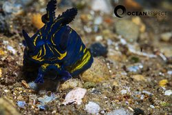 Tyranodoris europea, biggest predatory nudibranch of the european marine fauna.
