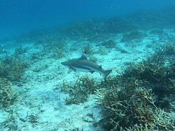 Reef shark at Rengis Island