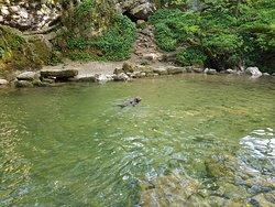 A Cockapoo enjoying a swim in the pool beneath the Foss.