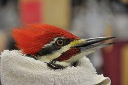 Piliated Woodpecker in Rehabilitation