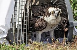 An Osprey being released back to the wild