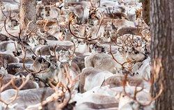 Kujala Reindeer Farm