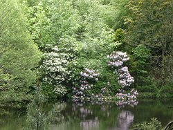 The rhododendrons are in bloom (24.05.2019) with a selection of colours.