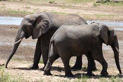 Elephants in Tarangire Park