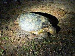 Zeeschildpad aan land om eieren te gaan leggen.