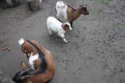 На территории живет много коз