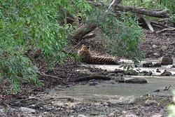 Krishna male cub resting in Pond in Zone 5