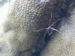 Cangrejo araña en Biscaia
