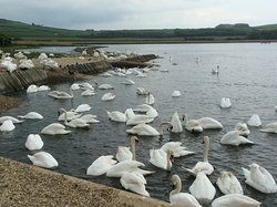 Lots of swans!