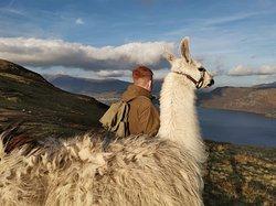 Llama trekking up Catbells