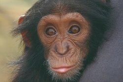 Parco Natura Viva - Bussolengo - Verona - scimpanzé