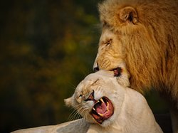 Parco Natura Viva - Bussolengo - Verona - leoni bianchi