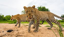 South Luangwa National Park is known as the Valley of the Leopard thanks to plentiful sightings of these elusive creatures