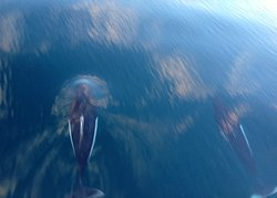 Dall's porpoise love to ride in the wake of the bow
