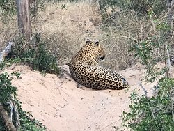 Leopard another of the big 5