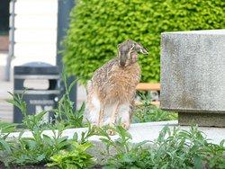 hare washing